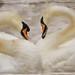 Swan Love....