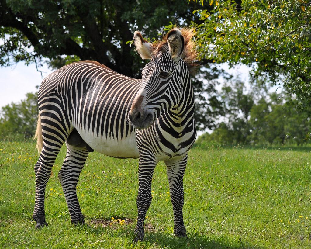 male grevy u0026 39 s zebra