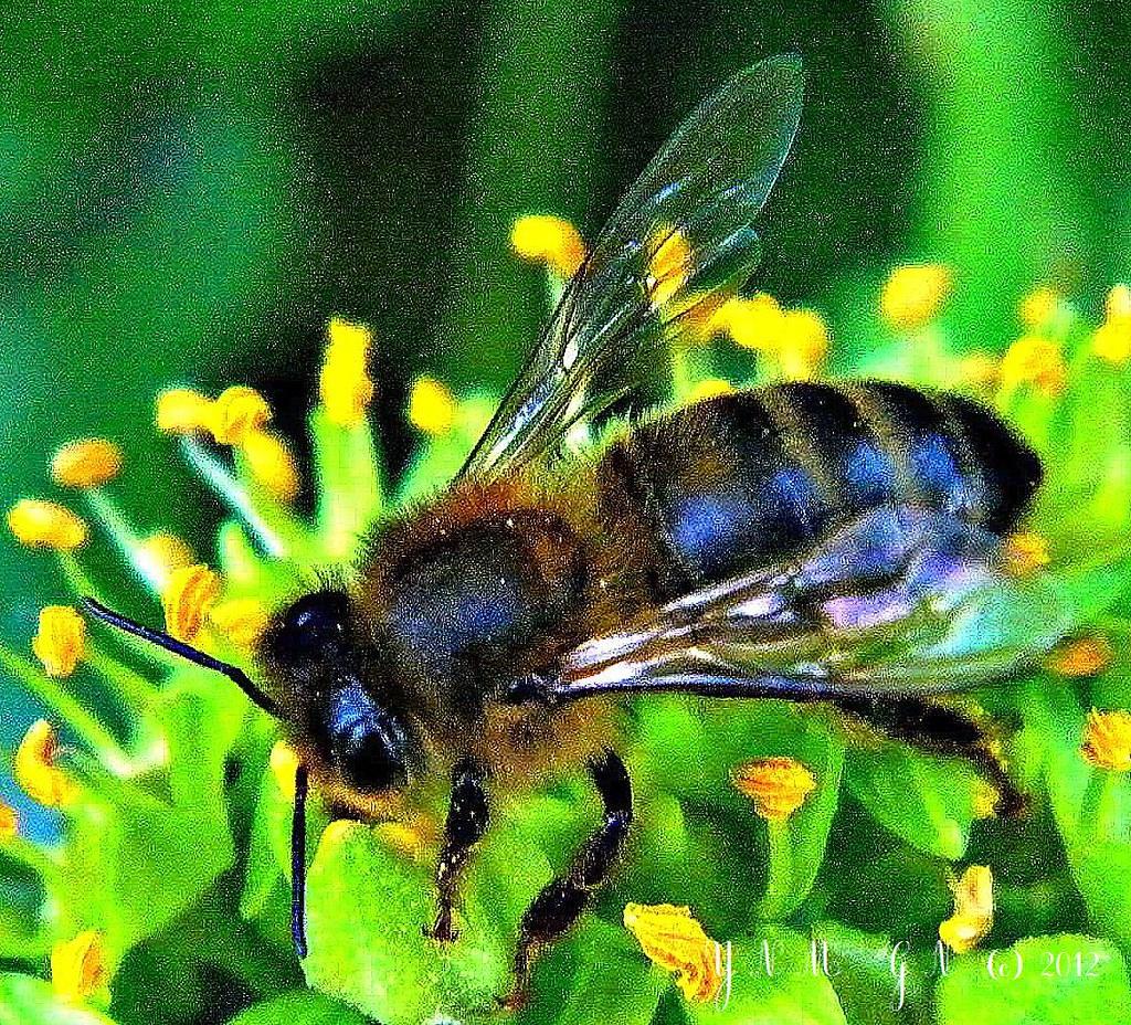 abeille, fleur de lierre, automne, miel, fleur mellifère ...