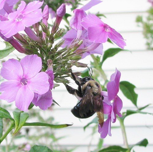 Busy Bee on Tall Phlox | by ♥toby&baby♥