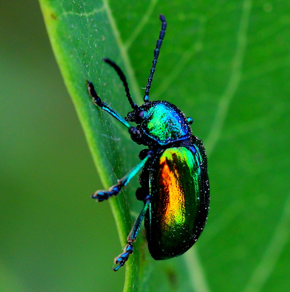 Dogbane Leaf Beetle - Chrysochus auratus