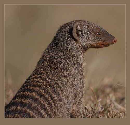 Banded Mongoose | by Rainbirder