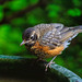 Juvenile American Robin.