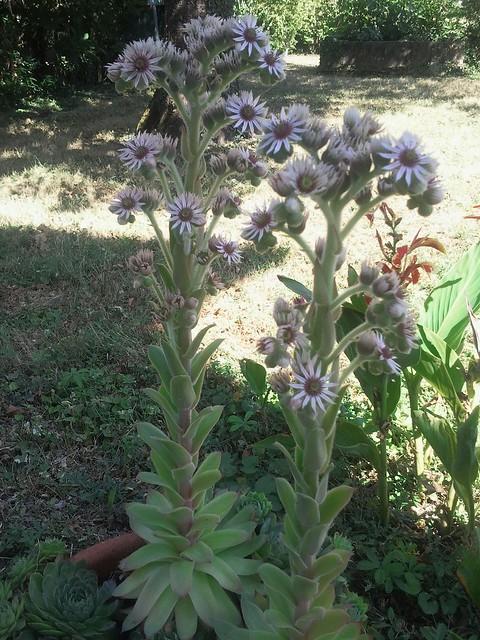 Photo - Plante grasse a fleur ...