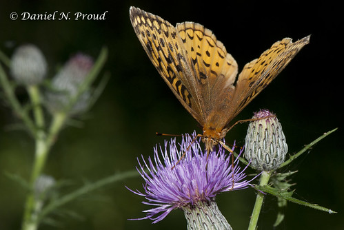 Great Spangled Fritillary | by Dan Proud