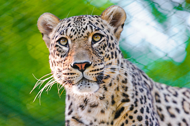 Portrait of the male Persian leopard