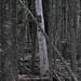 Lichens, Dead Spruce 2