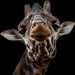 Giraffe (Explored)