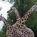 Three Headed Giraffe