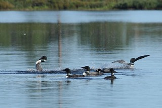 Party of Seven Common Loons | by McGill's Nature in Motion