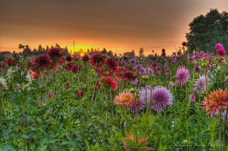 Sunrise at Swan Island Dahlias | by sandy bohlken