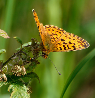 Small Pearl-bordered Fritillary | by Nige's Place