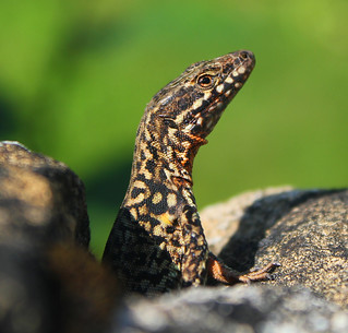 lezard a l'affut | by VP photographie