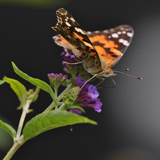 Painted Lady | by berelaxed
