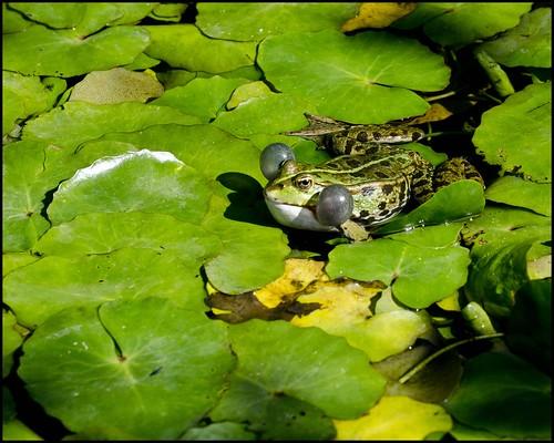 quack frosch