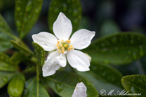 White Flower | by Alshmemri Photography's