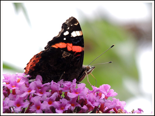 Red Admiral 04 | by Magic Moments by Pippa