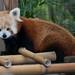 Red panda 02