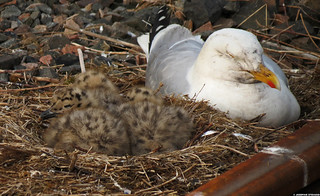 20120601_01 A pile of baby gulls in their nest by the train tracks | Mallaig, Scotland | by ratexla