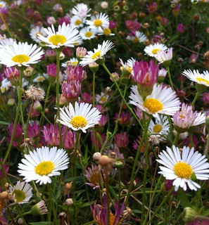 Swathe of daisies, Whitstable | by NovemberAlex