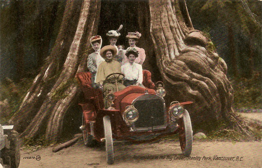 Postcard  Big Cedar In Stanley Park  C 1908