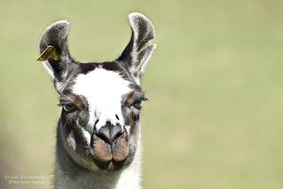 Llama Close-Up at Machu Picchu | by D200-PAUL