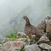 Mountain wildlife - raicho - ptarmigan
