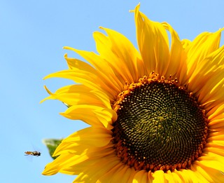Sunflowers = summer | by Signe09