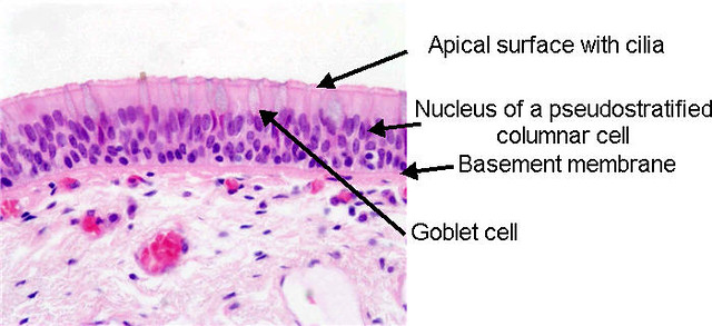 Pseudostratified Ciliated Columnar Epithelial Tissue ...