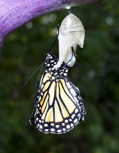 Monarch butterfly just emerged from chrysalis | by halmorgan
