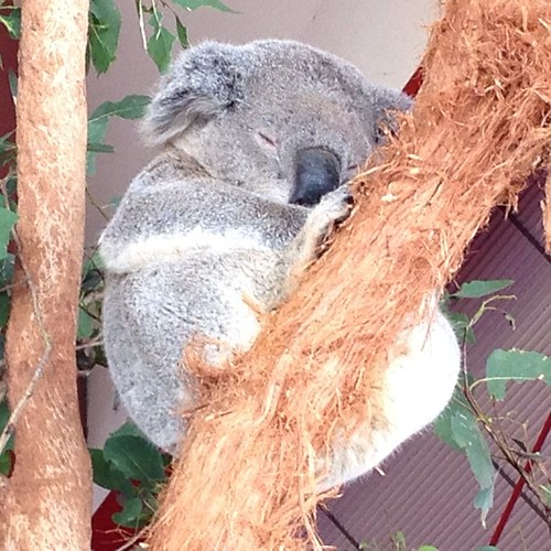 Don't wake the koala | by andycarvin