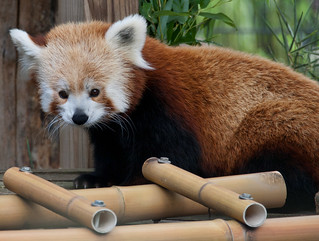 Red panda 04 | by Podsville