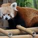 Red panda 04