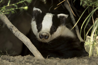 European Badger emerging from its den | by Ami 211