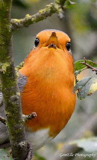 Robin Singing his  heart out again | by GemElle Photography - off & on sorry