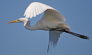 Great White Egret | by PETEJLB