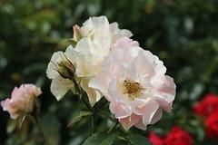 Rosa Jennys Rose Cansit