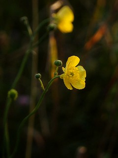 Ranunculus acris  (лютик) - buttercup | by Tatters ✾
