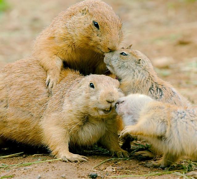 Prairie Dog_24