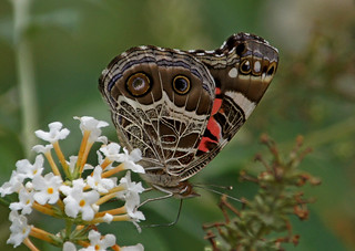 "butterfly ""American Lady"" 