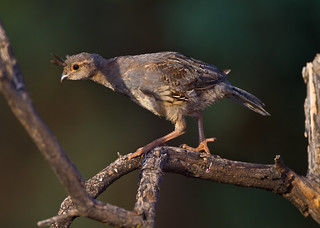 Gambel's Quail Chick | by Eric Gofreed