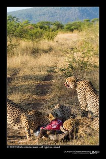 Four Cheetah brothers feasting on a young Blue Wildebeest in the morning sun | by Ulrich Münstermann