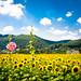 himawari '12 - sunflower #5 (Sayou-tyou, Hyogo)