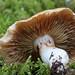 Cortinarius collinitis?