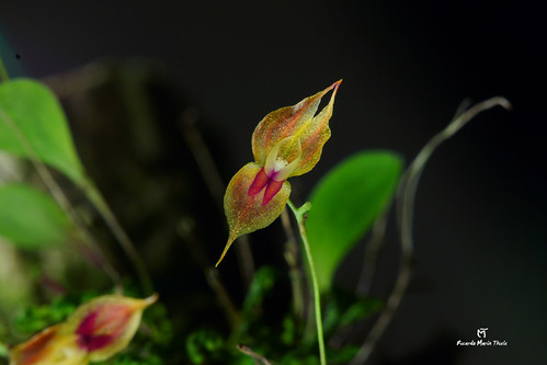 Lepanthes edwardsii | by ricksmancr