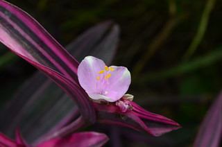 Spiderwort 'Pink Stripe' | by Brooklyn Botanic Garden