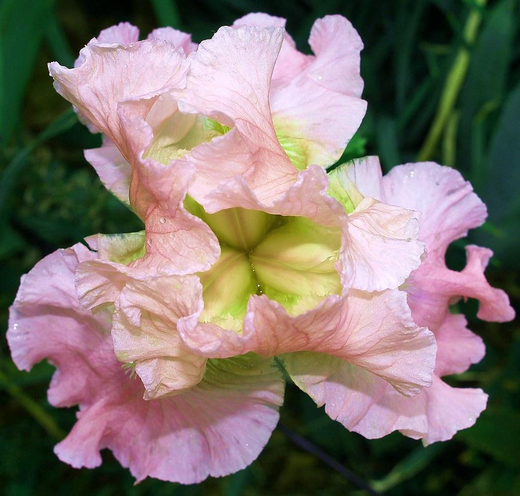 Pink Iris Flower An Iris In My Garden Britt Moise Flickr