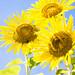 Sunflower  in zama 2