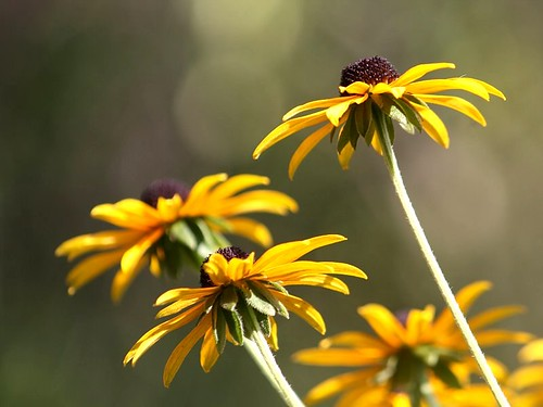 Black-Eyed Susans | by donsutherland1