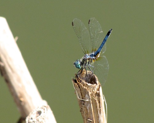 Blue Dasher (almost sure of the identification) | by Dork-Chocolate